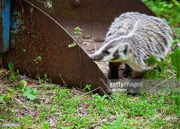 a curious american badger (taxidea taxus) wanders onto an albertan farmstead; alberta, canada - leah wilde stock-fotos und bilder