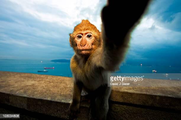 Curious Ape