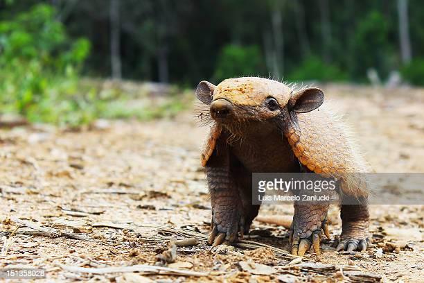 Curious armadillo