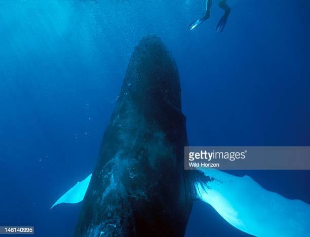 A curious Atlantic humpback whale surfaces beneath a snorkeler Megaptera novaeangliae Silver Bank Humpback Whale Sanctuary Dominican Republic