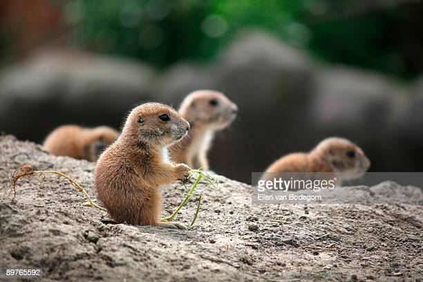 curious babies - prairie dog stock pictures, royalty-free photos & images