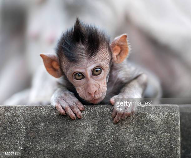 curious baby monkey in wildlife, uluwatu temple, bali (xxxl) - ugly monkey stock photos and pictures