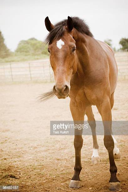 curious bay horse - bay horse stock photos and pictures