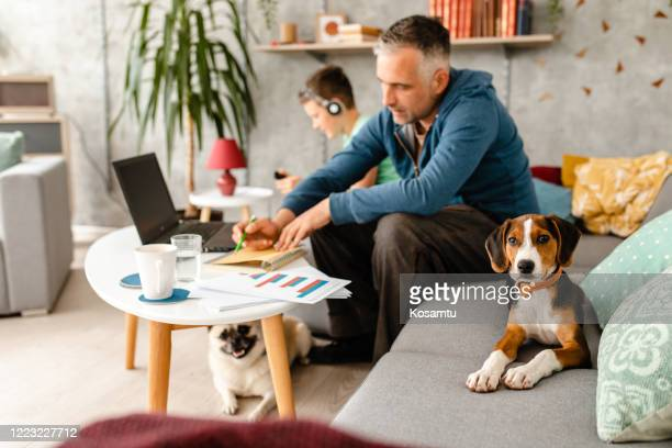 curious beagle puppy makes company to his owner while he working from home during home isolation - domestic animals stock pictures, royalty-free photos & images