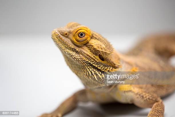 curious bearded dragon - réptil - fotografias e filmes do acervo