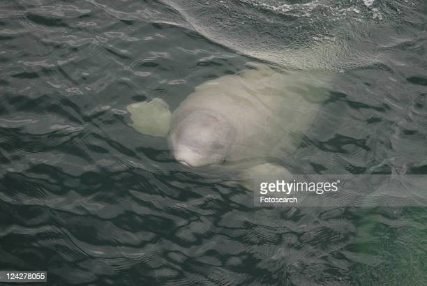 Curious Beluga whale (Delphinapterus leucas) surfaces near the boat, its flippers widely spread in order to keep its balance. Note the distinctive lips and the open eye. St. Lawrence estuary, Canada S