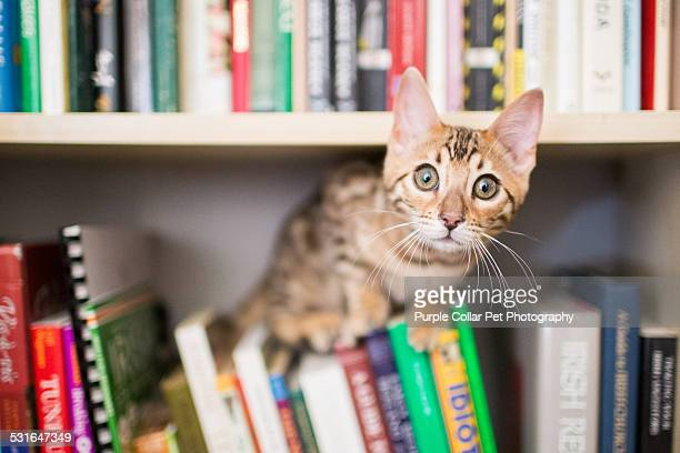 curious bengal kitten on bookshelf with books - bengal cat stock pictures, royalty-free photos & images