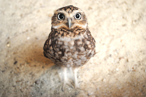 Curious burrowing owl with big eyes staring at the camera 135371312