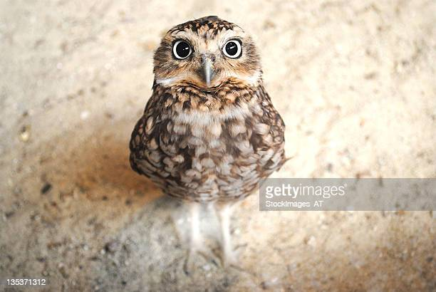 curious burrowing owl with big eyes staring at the camera - young animal stock pictures, royalty-free photos & images