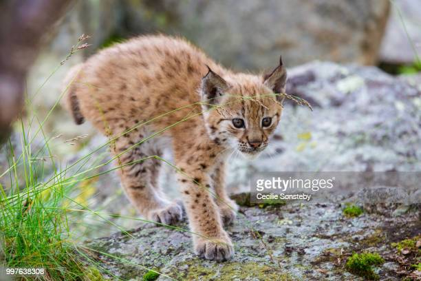 curious but scared and cautious - lynx photos et images de collection