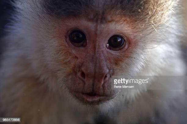 Curious capuchin monkey