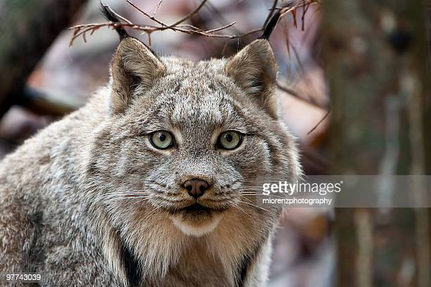 curious carnivore - canadian lynx stock pictures, royalty-free photos & images