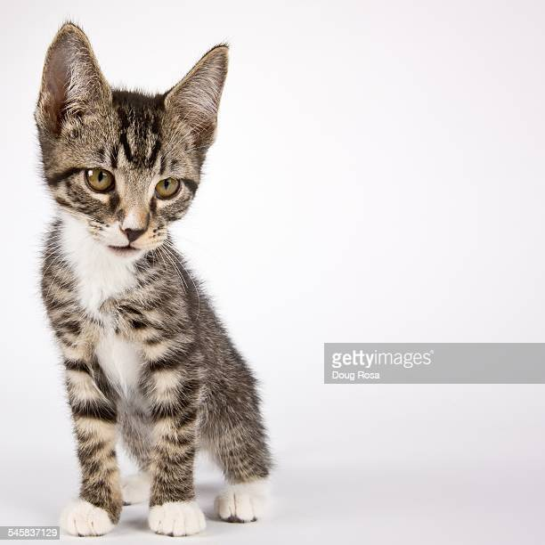 curious cat - shorthair cat stock pictures, royalty-free photos & images