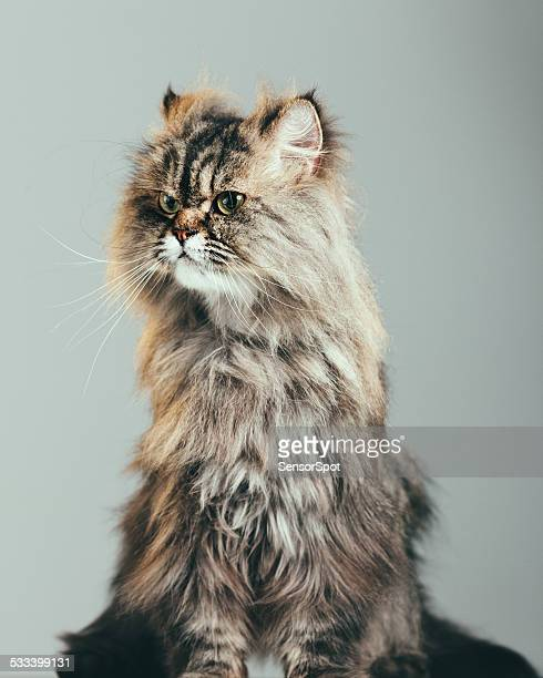 Studio portrait of a persian cat with curious expression.