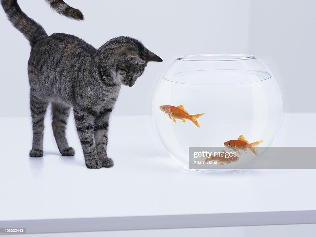Curious cat watching goldfish in fishbowl : Stock Photo