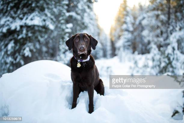 curious chocolate lab sitting in snow - chocolate labrador stock pictures, royalty-free photos & images