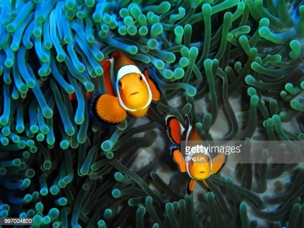 curious clownfish couple - damselfish stock photos and pictures