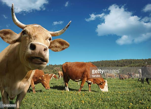 Curious Cow and Herd of Cows Behind