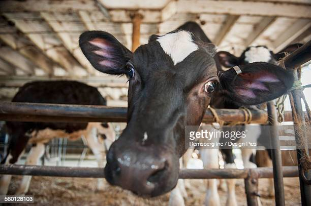 Curious cow in barn