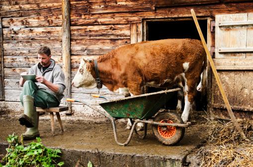 Curious cow watching farmer using digital tablet - gettyimageskorea