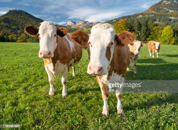 curious cows, austrian alps panorama - pasture stock pictures, royalty-free photos & images