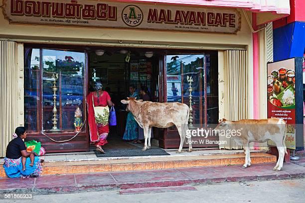Curious cows, Jaffna, Si Lanka
