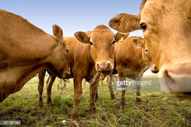 curious cows - livestock stock pictures, royalty-free photos & images