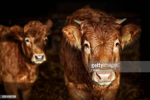 curious cows - bull animal stock pictures, royalty-free photos & images