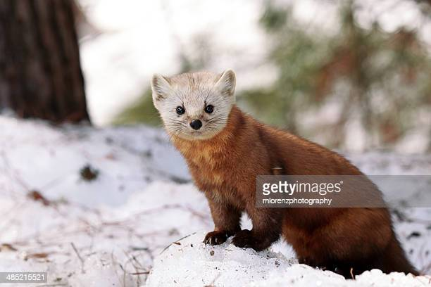 curious creature - pine marten stock pictures, royalty-free photos & images