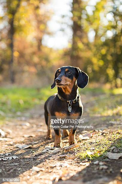 curious dachshund outdoors - dachshund stock pictures, royalty-free photos & images
