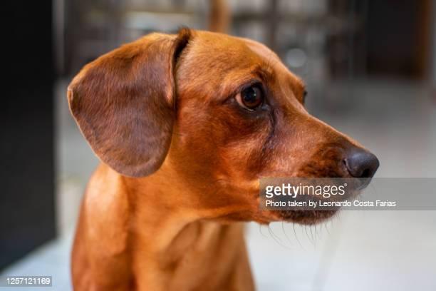 curious dachshund - leonardo costa farias - fotografias e filmes do acervo
