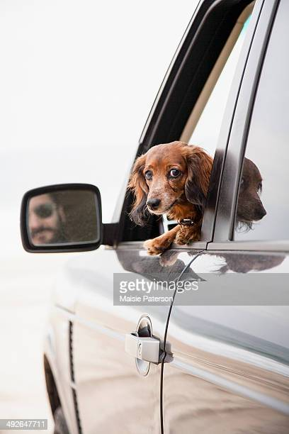 curious dachshund travelling by car, new york state, usa - dachshund holiday stock pictures, royalty-free photos & images