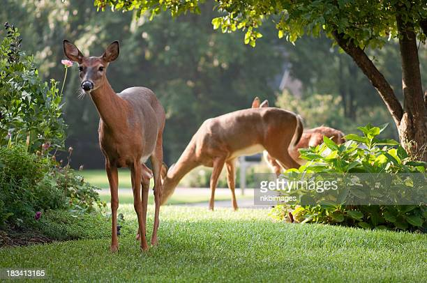 curious deer looking grazing in the morning