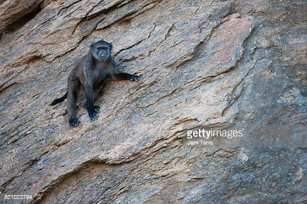 A curious desert-baboon grips a rocky cliff as it passes by