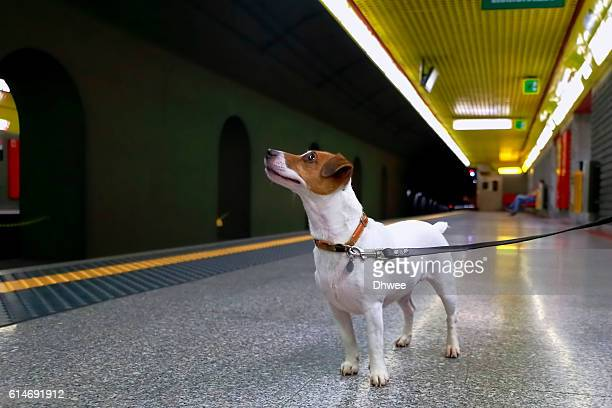 curious dog in underground station - jack russell terrier photos et images de collection