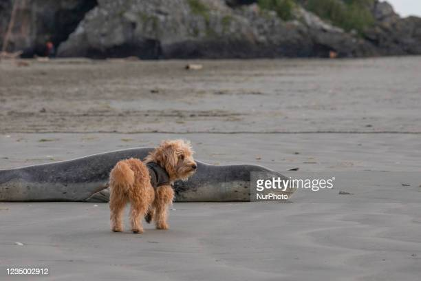 Curious dog looks at a leopard seal on Sumner beach in Christchurch, New Zealand on September 02, 2021. Leopard seals are usually found on Antarctic...