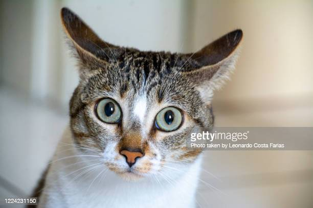 curious female cat - leonardo costa farias stock pictures, royalty-free photos & images