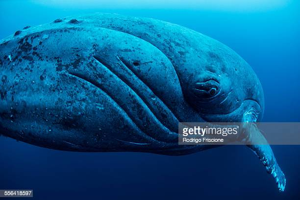 curious female humpback whale, closeup, roca partida, revillagigedo, mexico - narwhal stock photos and pictures