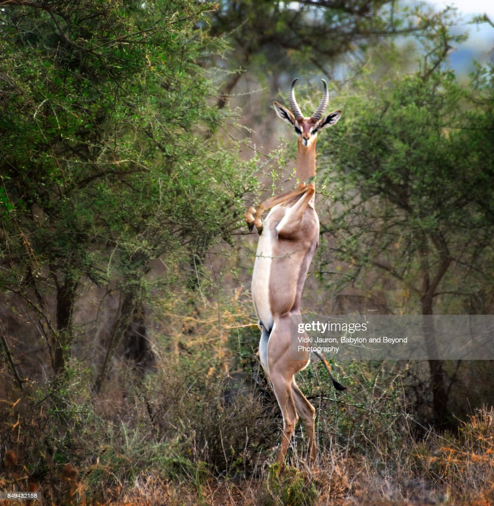 Curious Gerenuk Looking at Camera : Photo