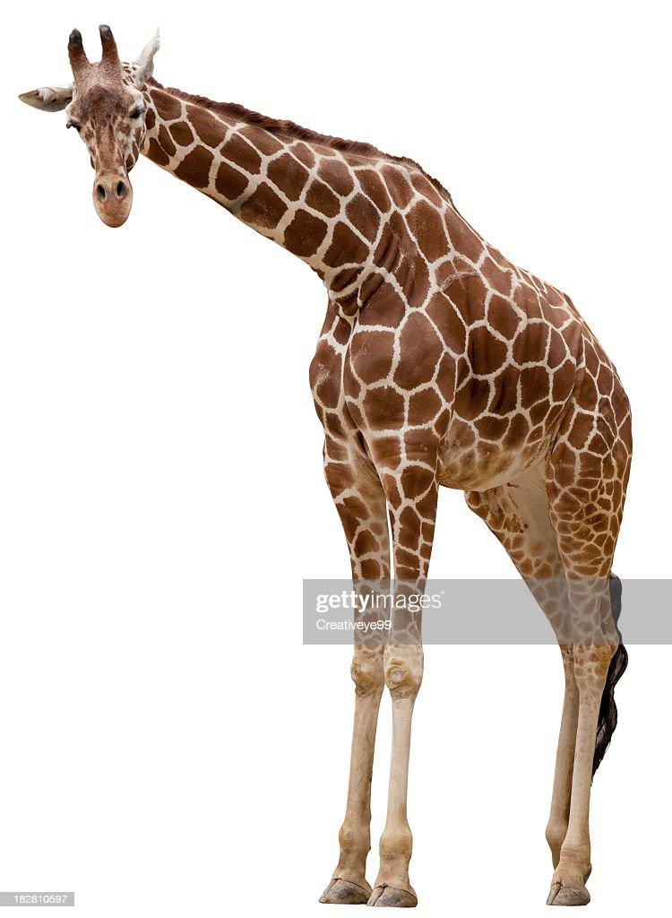Curious giraffe : Stock Photo