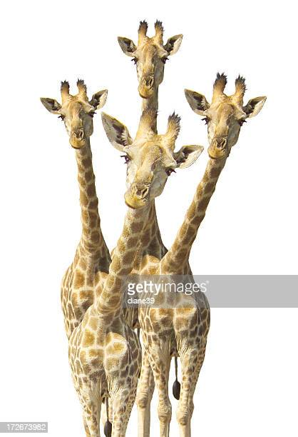 Curioso le giraffe