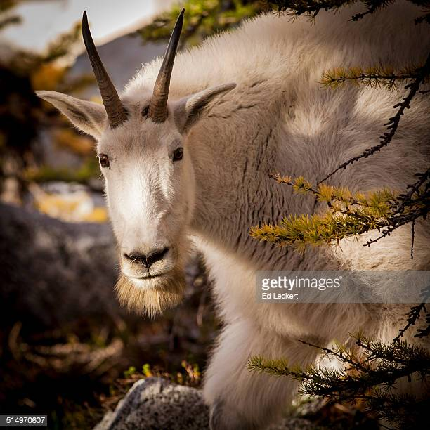 curious goat - leckert stock pictures, royalty-free photos & images