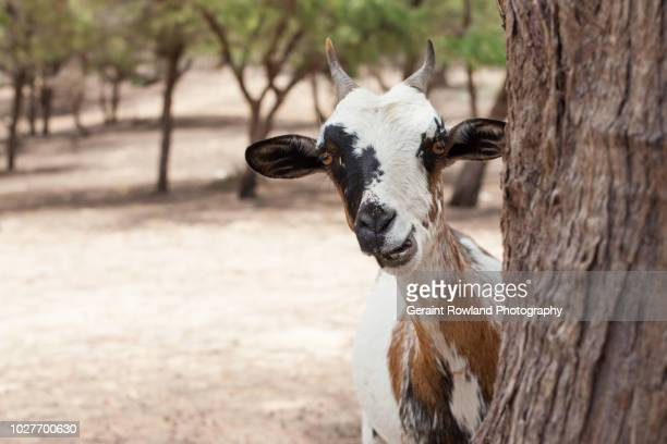 curious goat, senegal - goats stock pictures, royalty-free photos & images