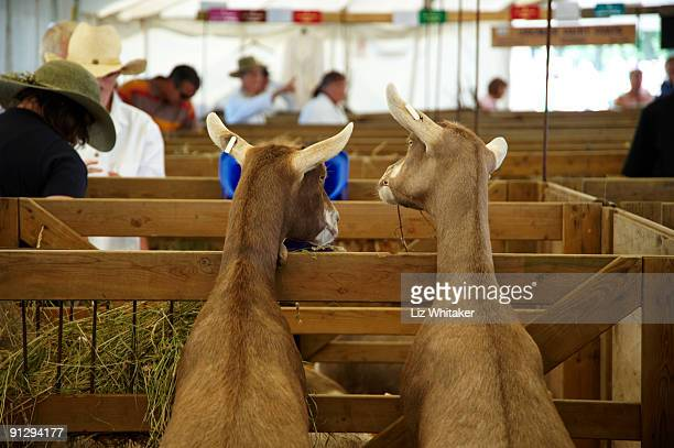 curious goats standing up on pen railings - agricultural fair stock pictures, royalty-free photos & images