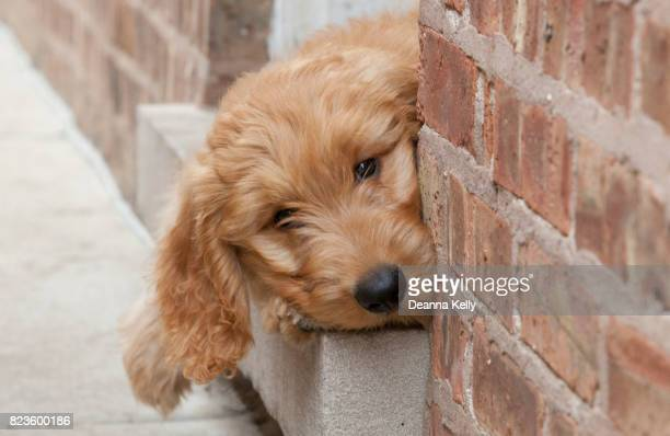 Curious Goldendoodle Puppy Peeks from Doorway