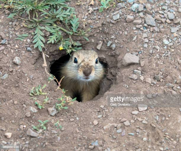 curious gopher - pika stock pictures, royalty-free photos & images