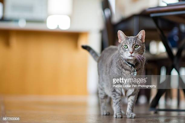 Curious Gray Tabby Cat in Modern Home Setting