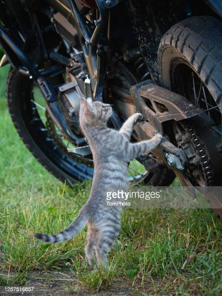 a curious gray tabby kitten explores the motorcycle - tabby stock pictures, royalty-free photos & images