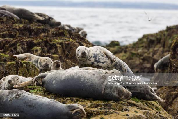 Curious grey seals