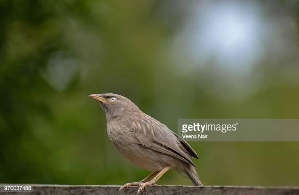Curious Jungle Babbler/Nagpur